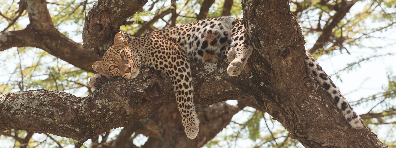 Ndutu-Leopard-1600-x-600_SFW