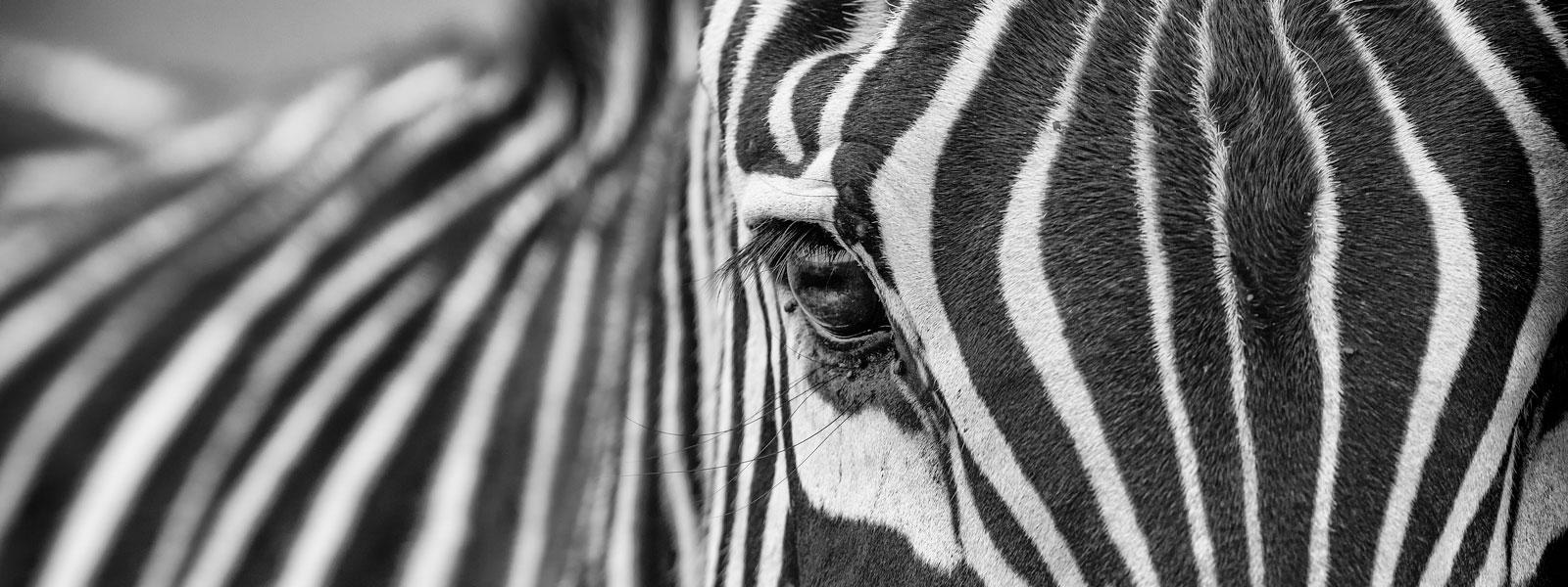 Zebra-1600-x-600_SFW