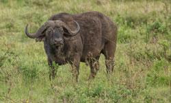 Buffalo-copy