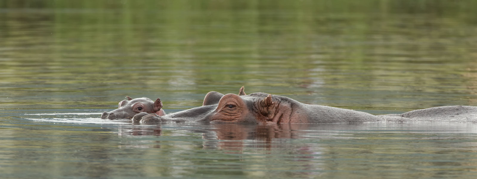 Hippo-1600-x-600-copy
