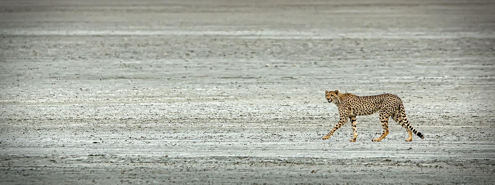MG_0094-Cheetah-copy