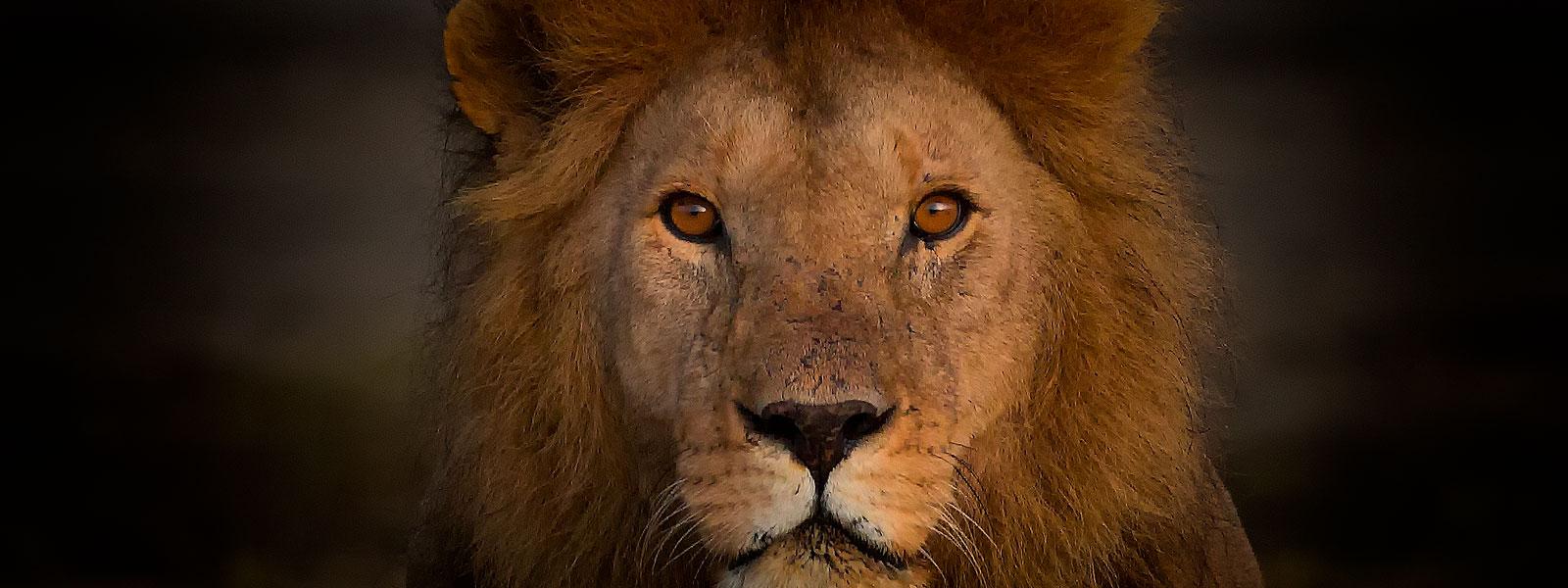 MG_0145-SFW_Lion-Face-1600-x-600