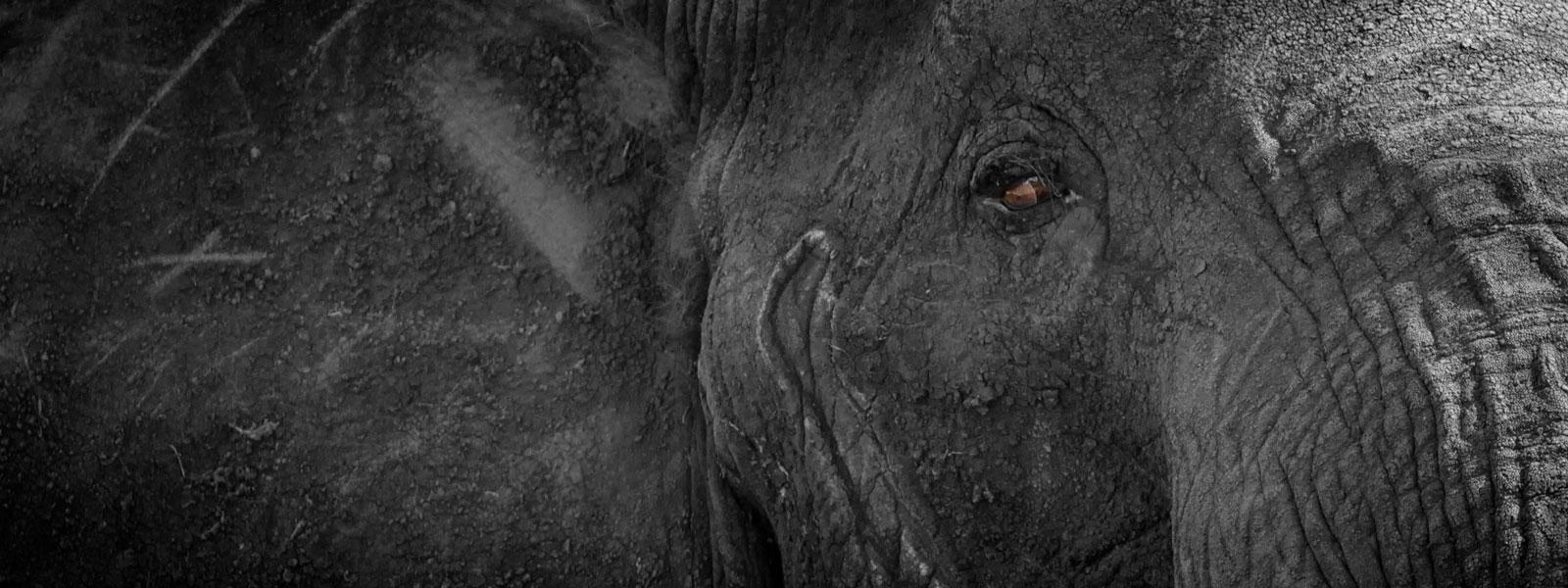 MG_0927-Elephant-1600x600_SFW